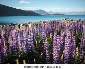 Schöne Nahaufnahme von violetter Lupine-Blüte und blauer See auf dem Hintergrund am Tekapo-See, Neuseeland