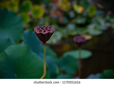 Beautiful close-up of a water lily seed pod in a pond in a garden.