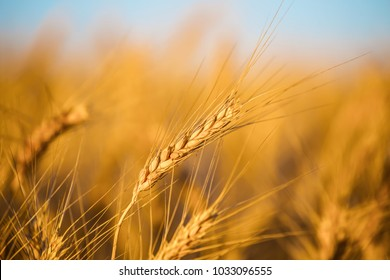 beautiful closeup wheat  field  at the summer day