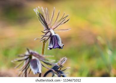 beautiful closeup wild prairie bell flowers in a prairie