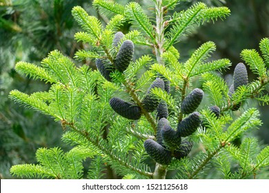 Beautiful close-up of young dark blue cones on the branches of fir Abies koreana  with green and silvery needles. Selective focus. Nature concept for design