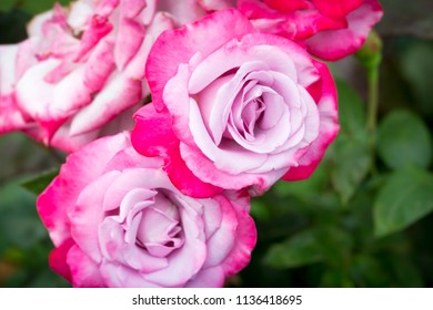 Beautiful close-ups purple pink hybrid tea Paradise roses, Paradise.