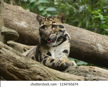 The beautiful clouded leopard