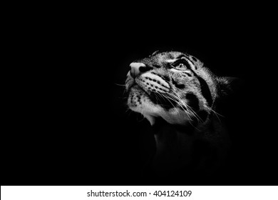 Beautiful clouded leopard on the nice black background/leopard cat on a darkness/zoo prague in czech republic