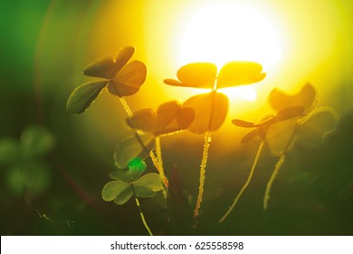 Beautiful clover plant with sun behind it. Macro shot, shallow DOF.