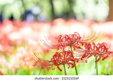 Beautiful Cluster amaryllis