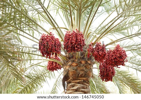 Beautiful clusters of red dates