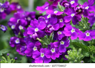 Nemesia fruticans bluebird ground cover ornamental stock photo edit beautiful clusters of small purple flowers with white center growing in a field mightylinksfo