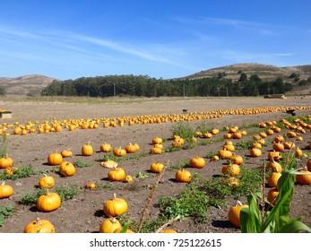 Beautiful Coastal Pumpkin Patch / Farm in Half Moon Bay, California - Fall / Halloween