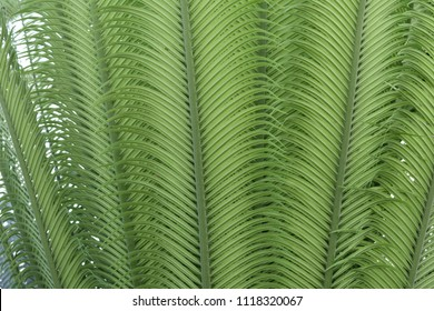 beautiful cobia young leaves texture as background wallpaper