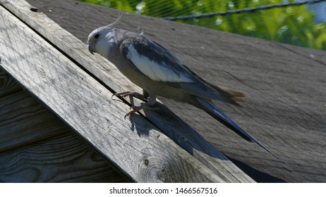 Beautiful cockatiel bird white and gray