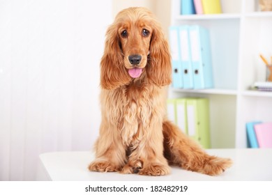 Beautiful cocker spaniel on bright background