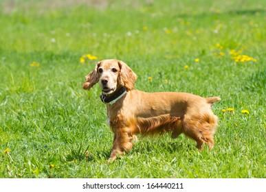Beautiful cocker spaniel on the green grass
