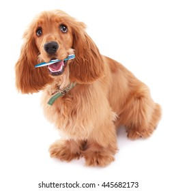 Beautiful cocker spaniel with tooth brush, isolated on white