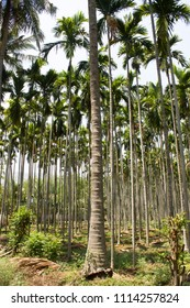 Beautiful coconut and palm trees farm in Coimbatore, Tamil Nadu, India