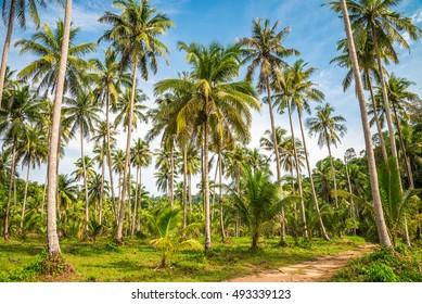 Beautiful coconut palm trees farm in Koh Kood island Thailand