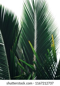 Beautiful of coconut palm tropical leaves