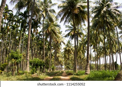 Beautiful coconut trees farm in Coimbatore, Tamil Nadu, India