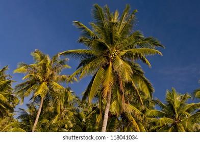 Beautiful Coconut Trees on Tropical Island
