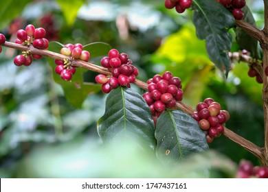 Beautiful coffee trees on the farm