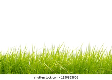 Beautiful cogon grass isolated on white background