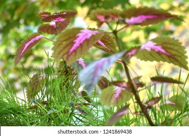 Beautiful Coleus with green grass.