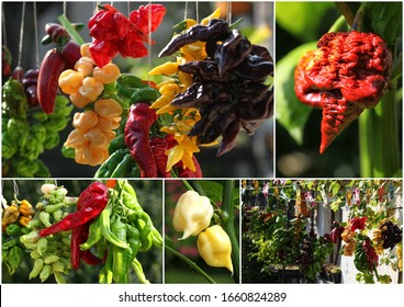 Beautiful Collage of homegrown chilli peppers hanging in the garden sunshine