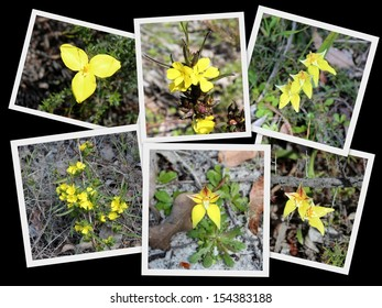 Beautiful collage presentation of  yellow wild flowers - yellow flag iris, hibbertia and cowslip orchids  growing Crooked Brook national park near Dardanup south western Australia in early spring.