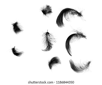Beautiful collection black feathers floating in air isolated on white background