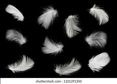 Beautiful collection white feathers floating in air isolated on black background