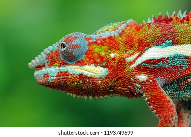 Beautiful colof of chameleon panther on branch, animal closeup