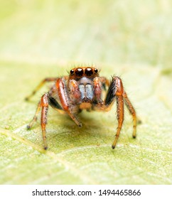 Beautiful Colonus sylvanus, Sylvana Jumping Spider  with his orange eyelashes looking up while resting on an Oak leaf