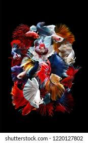 Beautiful color of betta fish