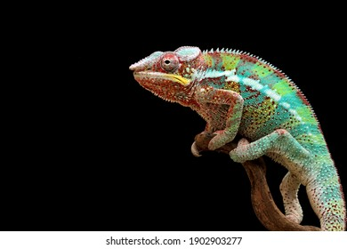 Beautiful color of chameleon panther, chameleon panther on branch, chameleon panther climbing on branch with black background