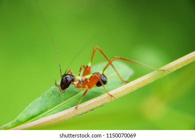 Beautiful color cricket on  leaves