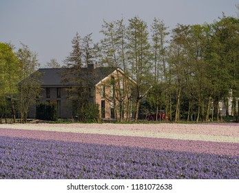 Beautiful color flowers blossom in a farm at Heemstede, Netherlands