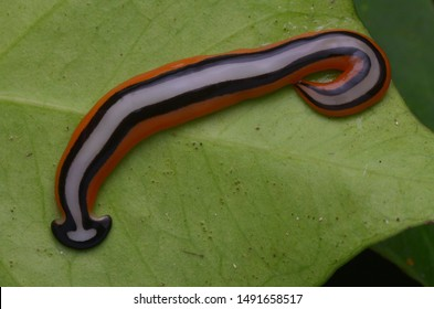 beautiful color hammerhead worm from Borneo
