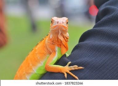Beautiful color iguana, iguana is nice pet for children