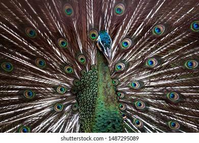 Beautiful color a majestic green peacock, animal closeup