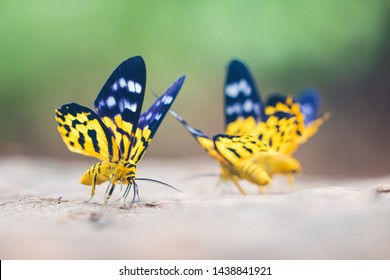 Beautiful colored butterflies  Find the ground in the morning. It consumes minerals in the wet soil in the forest. The butterfly is named Dysphania militaris.