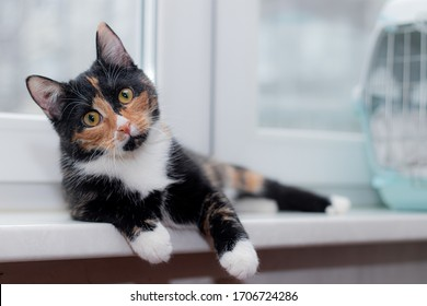 Beautiful colored cat sitting on a windowsill and looking to the window. Article about Pets. Article about animal classes .