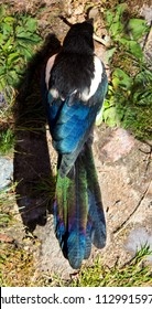 Beautiful colored feather of a Magpie, shows his beauty of an usual black bird in the evening sun.