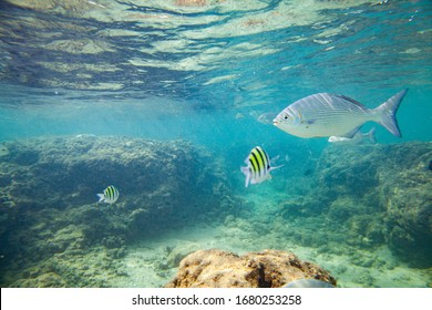 Beautiful colored fish swim underwater in the Indian Ocean among the stones.