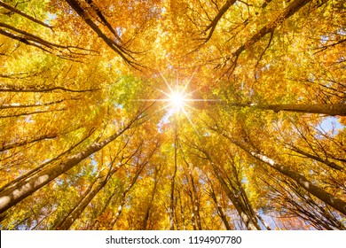 beautiful colored golden beech trees in forest at autumn