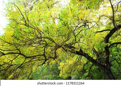 Beautiful colored holm-oak
