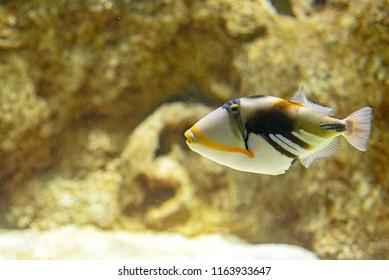 A beautiful Colored Humu Picasso Triggerfish. Lagoon triggerfish