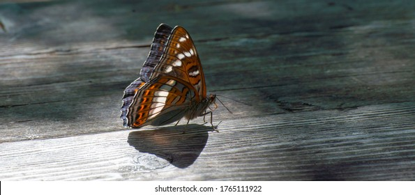 Beautiful colored iconic butterfly (Limenitis populi) Farnebofjarden national park in Sweden.