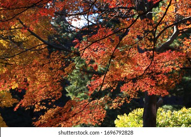 Beautiful colored leaves in Tokyo Japan