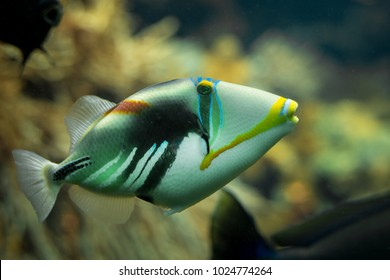 A beautiful colored Picasso triggerfish (Rhinecanthus aculeatus) in a reef tank