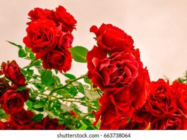Beautiful colored roses